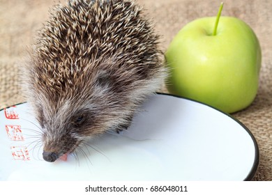 Little wild hedgehog (Erinaceus) is drinking milk from plate and green apple on piece of sackcloth