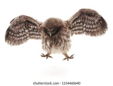 Little wild owl isolated on a white background.