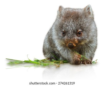 Little wombat female 3 months while eating the grass. Isolated on white background. Family of Wombat, mammal, marsupial herbivore that lives in Australia in forested,