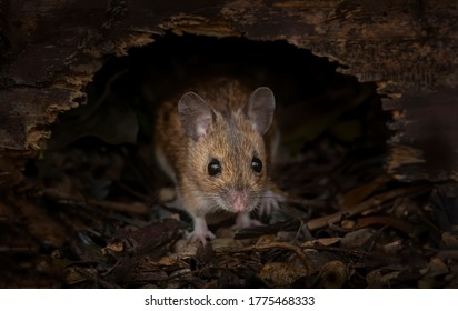 little wood mouse in his nest