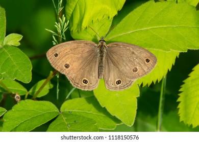 Little Wood Satyr Butterfly resting on a leaf. Carden Alvar Provincial Park, Kawartha Lakes, Ontario, Canada.