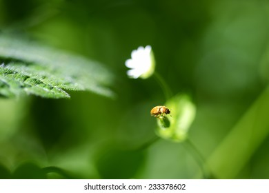 Little Yellow Beetle Sitting on a Flower on a Dark Green Background With White Flower Behind