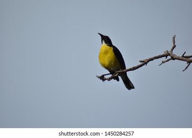 Little yellow bird - Bonaire Island