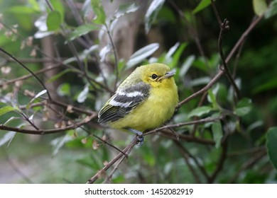 Little yellow bird on tree. (Black-naped Oriole)