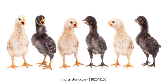 Little yellow and black chicken gang chirping with open beaks - standing in a row on white background