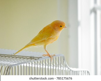 little yellow canary bird standing on cage looking out the window