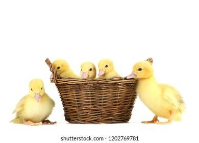 Little yellow ducklings in basket on white background - Shutterstock ID 1202769781