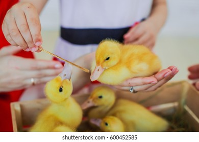 Little yellow ducklings look out of the wooden box. Easter symbols. The girl feeds straw of yellow ducklings.