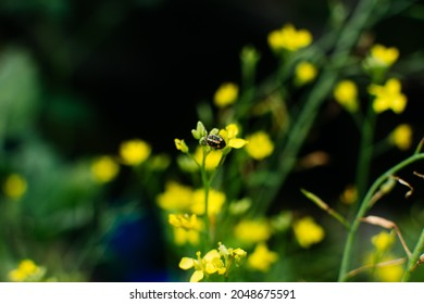 Little yellow flower of Cos Romain Lettuce grow in the farm for seed production.