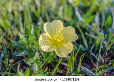 Little yellow flower that is covered with the morning dew.