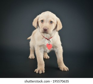 Little Yellow Lab puppy wearing a collar and tag on a black background.