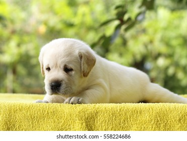 the little yellow labrador puppy laying on a yellow background