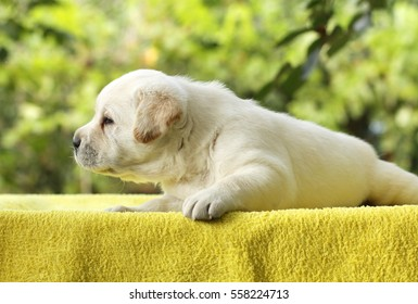 little yellow labrador puppy laying on a yellow background