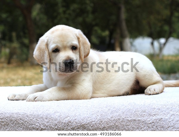a little yellow labrador puppy sitting on the white background
