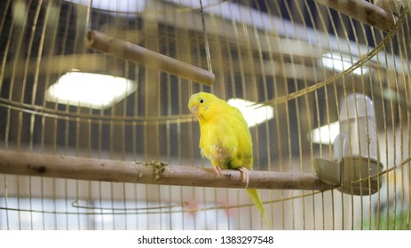 Little yellow parrot in a cage