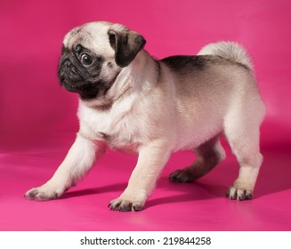Little yellow pug puppy sitting on pink background