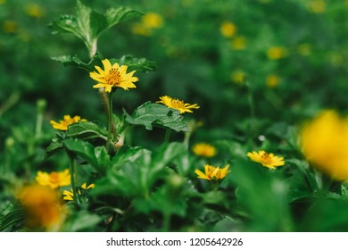 Little yellow star flower images stock photos vectors shutterstock little yellow star flower mightylinksfo