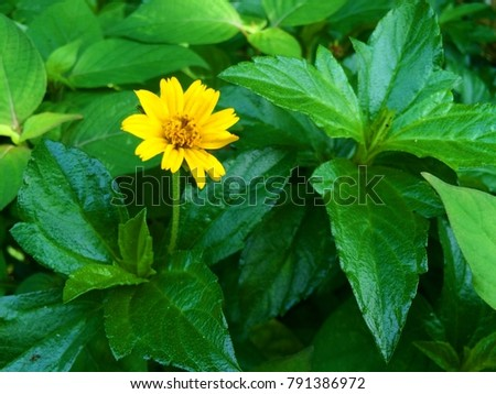 Little yellow star flowers ornamental foliage stock photo edit now little yellow star flowers ornamental foliage plants trees nature grass yellow and green flowers bloom after mightylinksfo