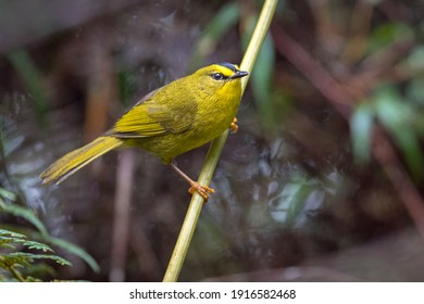 Little yellow warbler perched on a branch