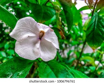 little Yesterday today and tomorrow flowers with raindrops on a Brunfelsia Shrubs