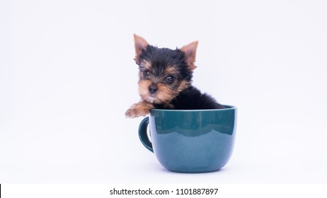 Little Yorkie good health , Yorkshire terrier teacup sit in the coffee cup feeling bored