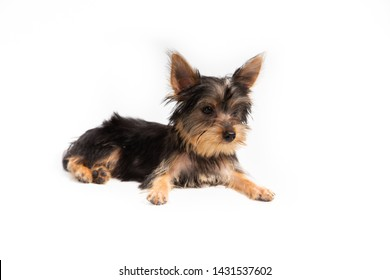 Little Yorkie good health , Yorkshire terrier teacup sit in white background