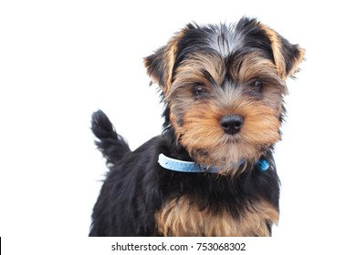 little yorkie puppy standing on white background