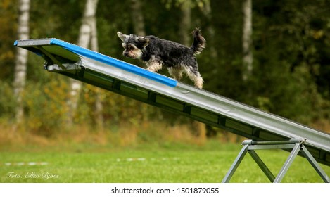 Little yorkie training on the see-saw obstacle
