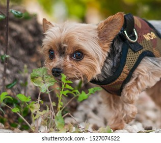 Little Yorkie walking around the park