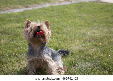 Little yorkshire dog is sitting on grass and looking up