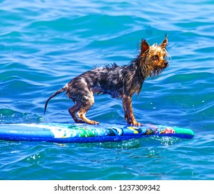 A little yorkshire terrier boogie boarding in the sea off Las negras, Almeria, Spain