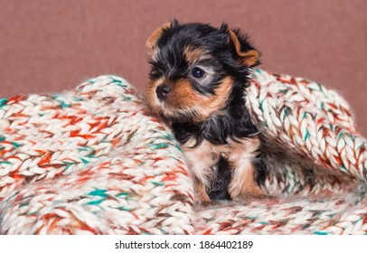 little yorkshire terrier puppy dog looking