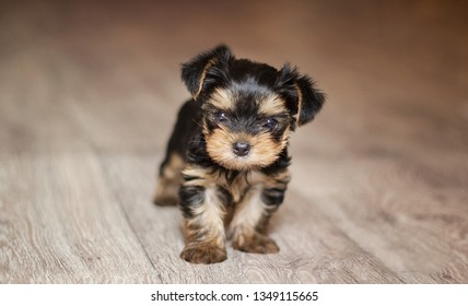 Little yorkshire terrier puppy plays