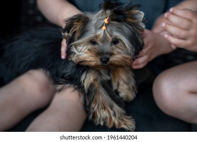 Little Yorkshire Terrier Sitting With Owners. Yorkie Dog.