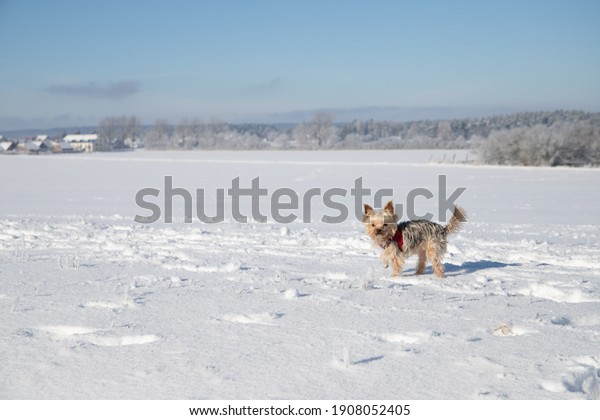 little-yorkshire-terrier-snow-red-600w-1