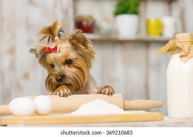 Little Yorkshire terrier staring at chicken eggs.