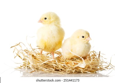 Little young chickens on nest