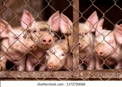 The little young cute pigs are looking at camera from pigsty through grid, pig and swine breeding concept.
