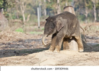 Little young Nepalese elephant scratching his back
