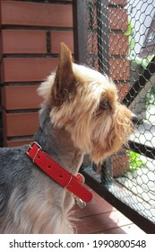 Littly Dog (yorkshire terrier) is thinking about life and looking into the distance