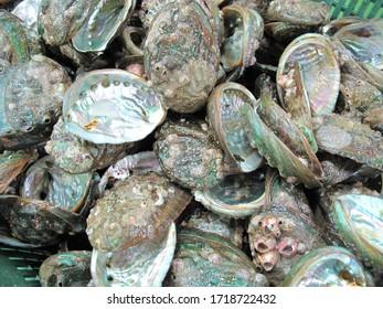 Live abalone caught in Wando, Korea