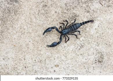 live black scorpion (Emperor Scorpion)