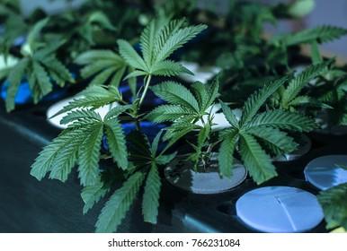 A live cannabis clone in a cloner.