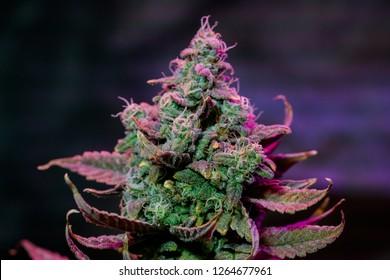 Live Cannabis Plant
