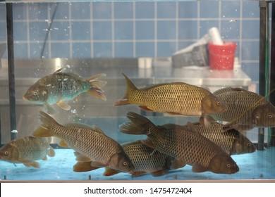 Live carp fish in aquarium in store for sale