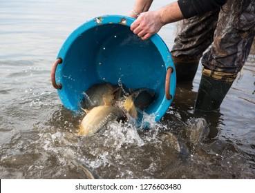 live carp fish in the bucket