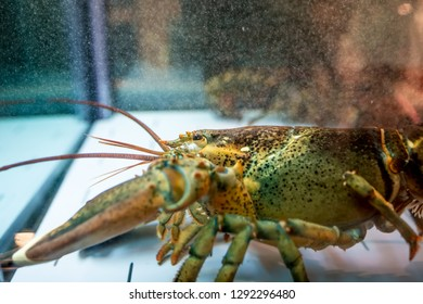 A live caught lobster sitting at the bottom of a brightly lit tank waiting to be cooked and eaten.