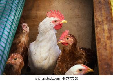 Live chicken home at the village courtyard.