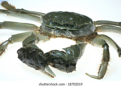Live Chinese Mitten Crab on White Background