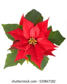 live christmas flower red poinsettia in the pot isolated on white backround - Red Christmas Flowers